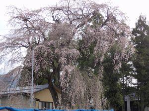 画像 136お宮のしだれ桜