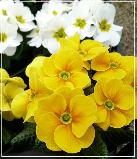 P1180047_ジュリアン黄色