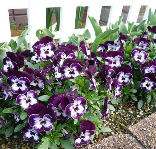 P1190215_門前花壇ビオラ