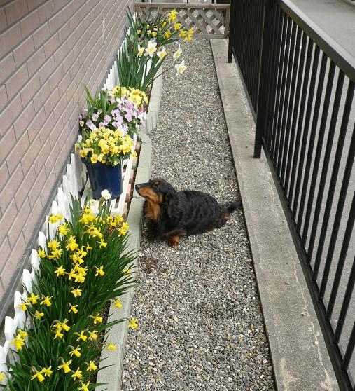 P1190324_東花壇とチョコちゃん1