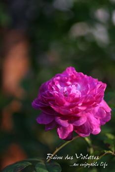 r_reine_des_violettes02.jpg