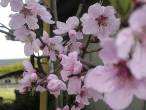 桃の花 縮小