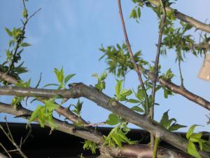 梅の木縮小