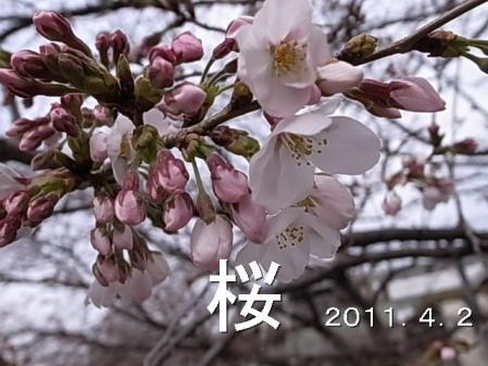 110402sakura.jpg