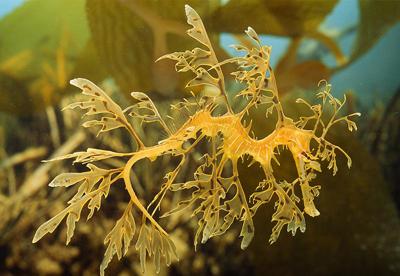 leafy-sea-dragon.jpg