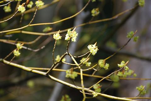 シロモジの黄色い花が