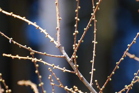 カラマツの芽が膨らんだ