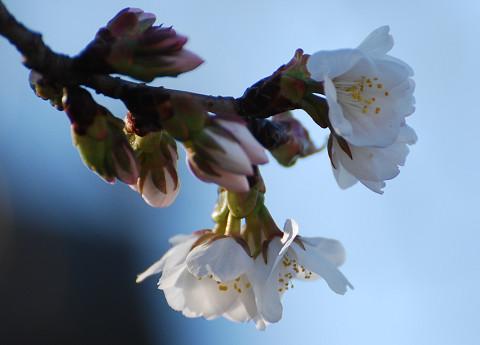 岡崎の家のシダレザクラが咲いた