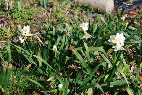 咲いたスイセンの花