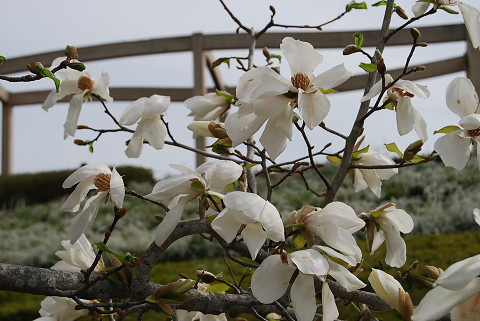 コブシの花はきれい