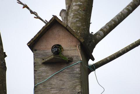 シジュウカラが巣作りか2