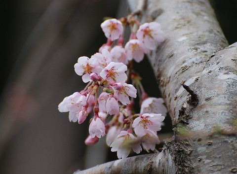 庭のシダレザクラが咲いた2