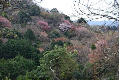 山桜の美しさを