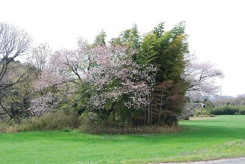山桜が咲いていた