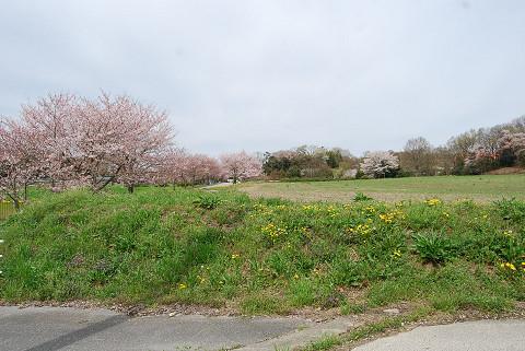 牧草地とサクラの花