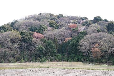 雑木林に山桜が