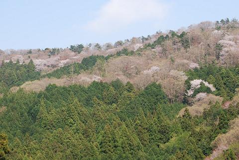 夏山の山桜1