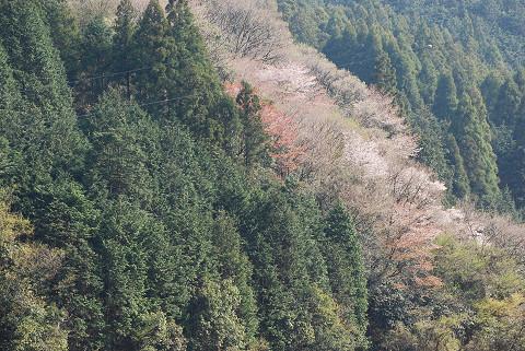 夏山の山桜2