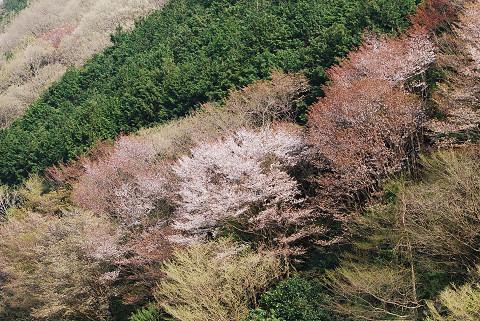 夏山の山桜3