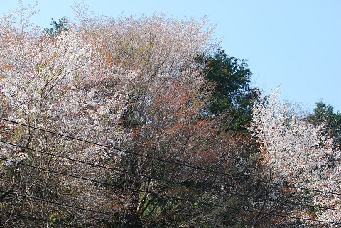 夏山の山桜4