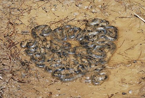 再びヒキガエルの卵塊