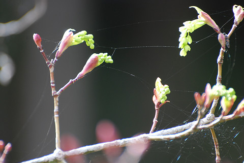 ウリカエデの開花が