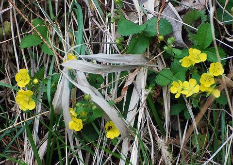 カタバミの黄色い花が