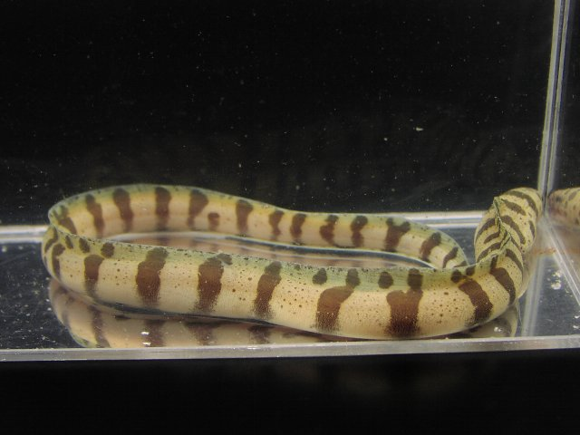Unknown eel