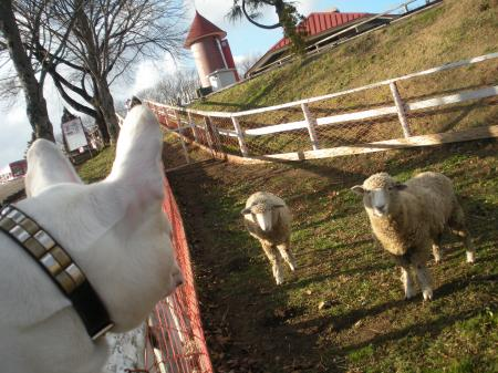 羊さんこんにちは。