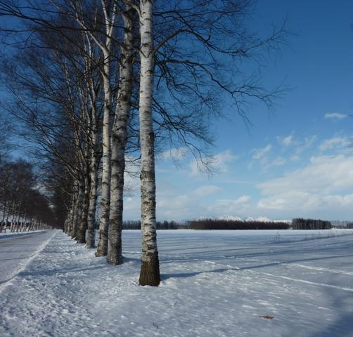 043白樺と雪原