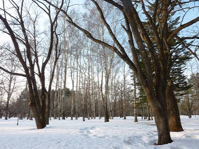 089鈴蘭公園の白樺