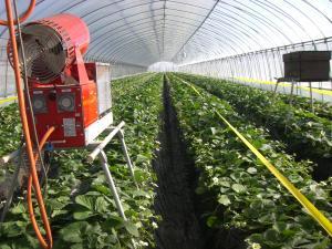 収穫期圃場1