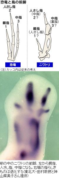 恐竜とニワトリの前肢の比較と発生中のニワトリの前肢