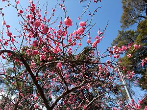 梅は三分咲きくらい。来週くらいは見ごろかな?
