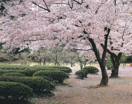 栗林公園の桜(去年のものです)
