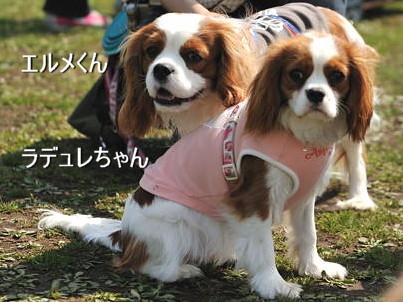 DSC_5076-キャバリ男サス家ブログ(エルラデュちゃん)