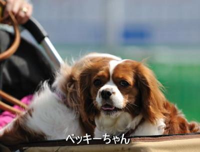 DSC_5067-キャバリ男サス家ブログ用(ベキパルちゃん)