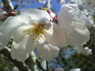 桜咲く 2011.4