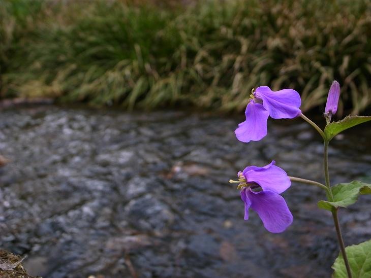 川沿いの花