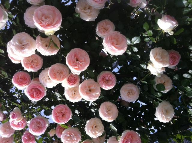 Momoiro_rose.jpg