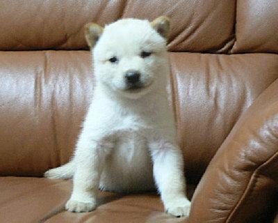 北海道子犬No6057