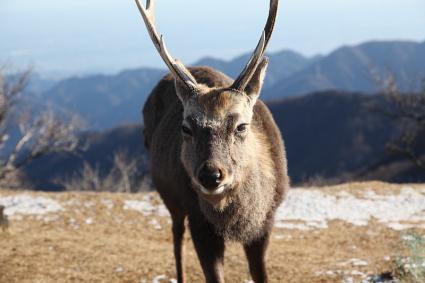 鹿さん 塔ノ岳にて