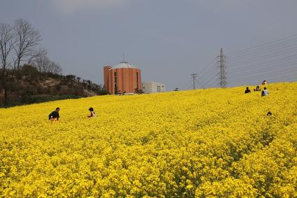 愛知牧場 菜の花 その3