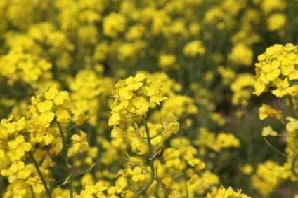 愛知牧場 菜の花 その2