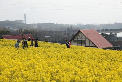 愛知牧場 菜の花 その4