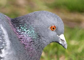 鳩は間近で見ると意外と怖い顔