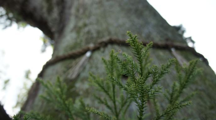 ご神木の松
