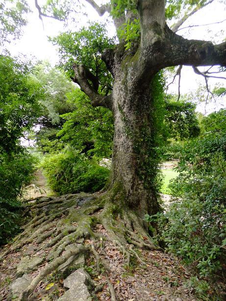 石垣の樹木1