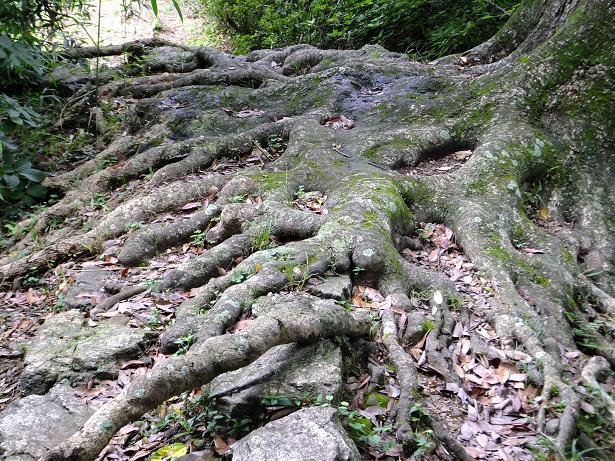石垣の樹木2