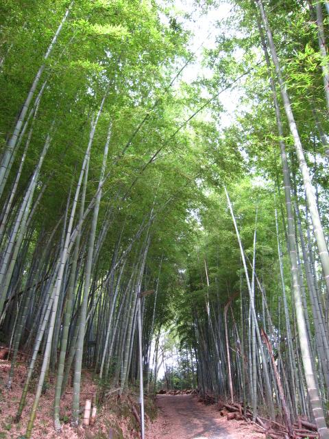 丸山への竹薮